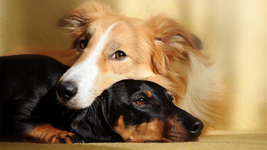 Cães não gostam de quem não gosta dos seus donos